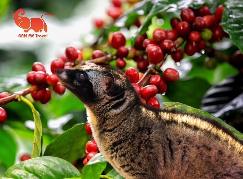 COFFEE TOUR BUÔN MA THUỘT 2 NGÀY 1 ĐÊM